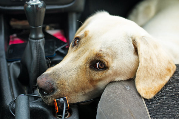 How to Help a Dog With Travel Sickness